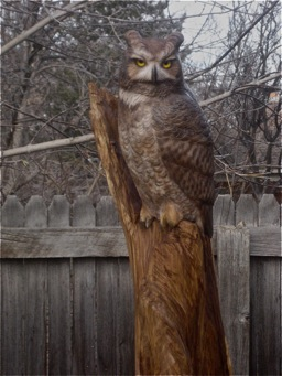 [Great Horned Owl]